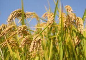 campo arroz (imagen realizada en el parque natural del Delta del Ebro) Agroseguro agente natalia plaza seguros en vilanova i la geltru seguros agricolas