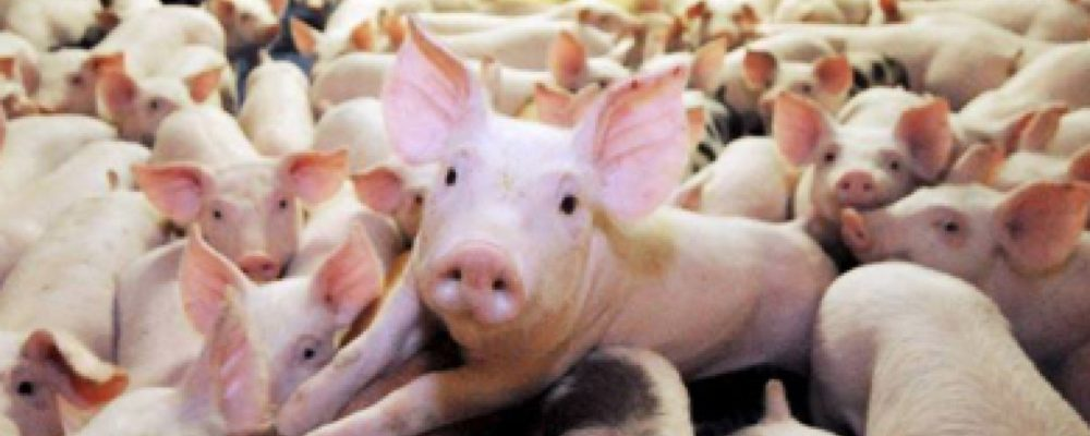 granja cerdos seguros natalia plaza agente en vilanova i la geltru agroseguro