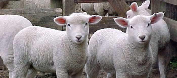 granja ovino ovejas seguros natalia plaza agente en vilanova i la geltru agroseguro