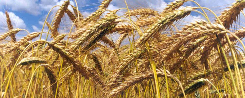 campo trigo Agroseguro agente natalia plaza seguros en vilanova i la geltru seguros agricolas