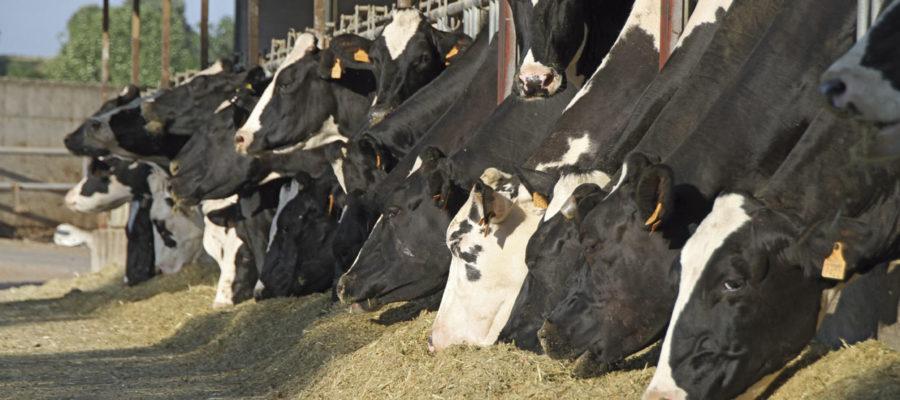 granja vacas ganaderia seguros natalia plaza agente en vilanova i la geltru agroseguro